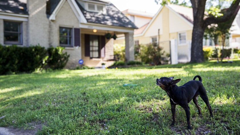 A loose dog without a collar barks at passing cars in Dallas.