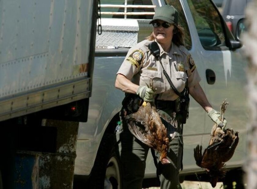 An officer from San Diego County's Department of Animal Control removes roosters seized at a cockfighting operation in 2010, similar to one recently broken up in Pauma Valley. U-T File Photo