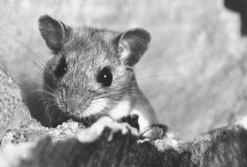 Mice are common carriers of the potentially-deadly hantavirus.