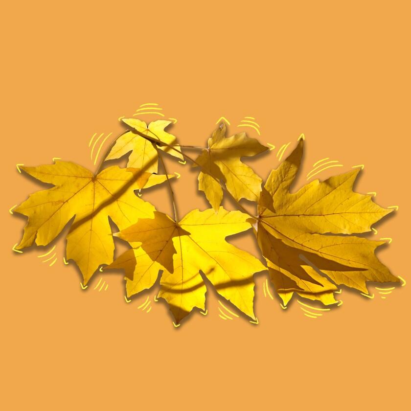 Big-leaf maple leaves.