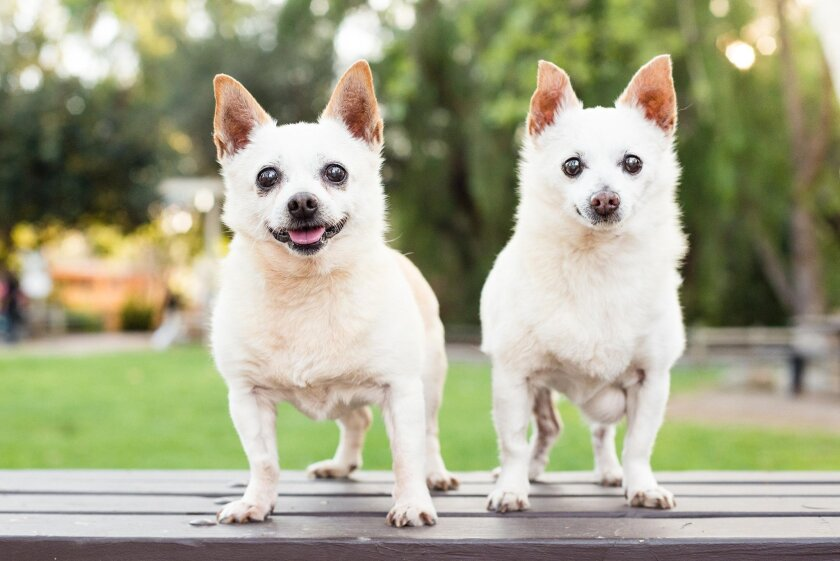 "Fred and Ethel, Chihuahua ""comedic celebrity couple."""