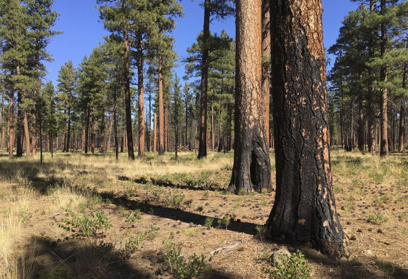 FILE - This Sept. 27, 2017, file photo, shows charred trunks of Ponderosa pines near Sisters, Ore., months after a prescribed burn removed vegetation, smaller trees and other fuel ladders last spring. Hundreds of millions of acres of forests have become overgrown, prone to wildfires that have devastated towns, triggered massive evacuations and blanketed the West Coast in choking smoke. Today, officials want to sharply increase prescribed burns, with drought and global warming creating a sense of urgency. (AP Photo/Andrew Selsky, File)