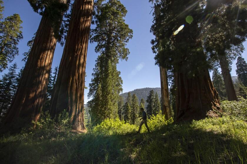 A man walks through a grove of giant sequoias