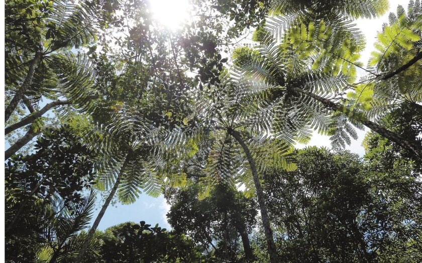 Towering tree ferns at Giant Ferns Park create a natural living cathedral for hikers.
