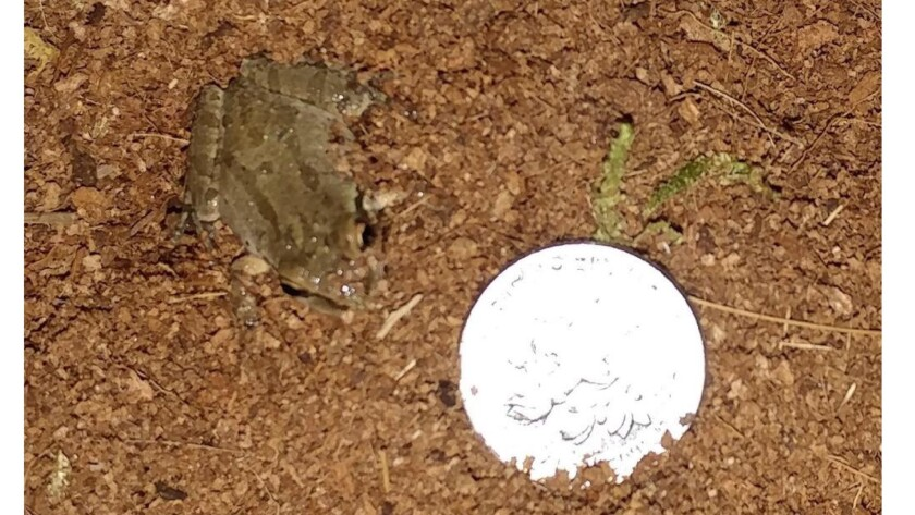 This tiny frog is about the size of a dime.