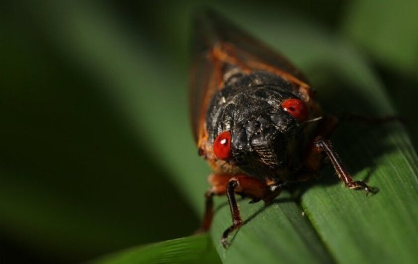 A team of U.S. Navy researchers are trying to replicate the way cicadas produce big sound with a small instrument, for undersea uses that include signaling and remote sensing.