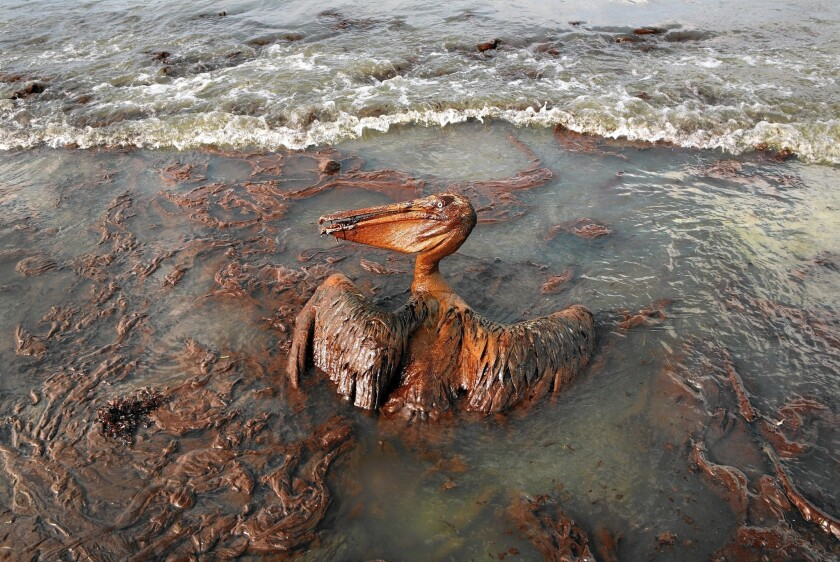 Weeks after the BP spill in the Gulf of Mexico in 2010, a pelican mired in oil struggled to survive in Louisiana.