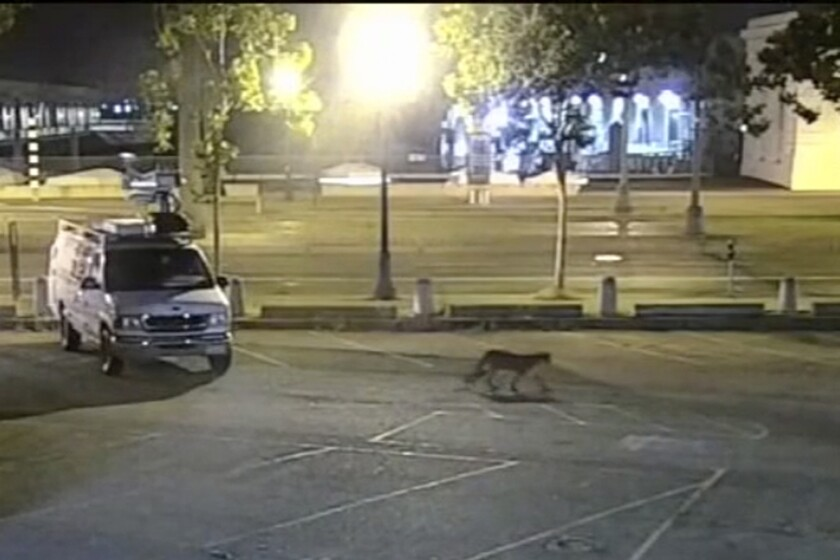 Surveillance camera video shows a young mountain lion wandering through the station's parking lot in San Francisco.
