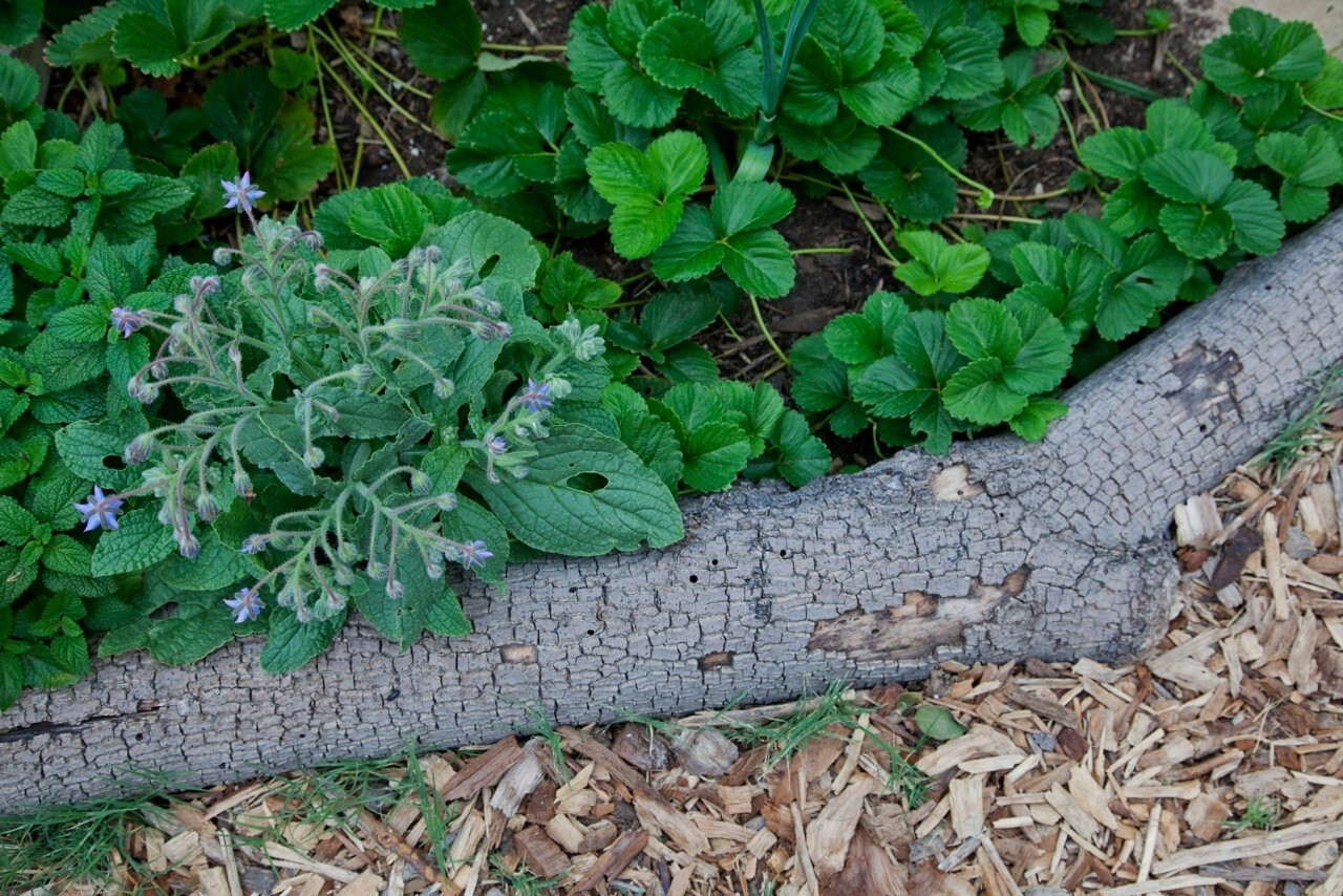 A flowering clump of muted-green borage, surrounded by strawberry and onion plants, grows next to a log border in the North Hollywood Community Garden.