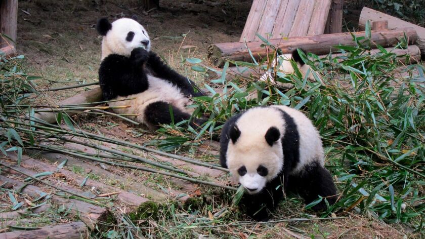 Pandas munch on bamboo at the captive breeding reserve in Chengdu, one of the stops on World Spree Travel's 13-day tour of China and Tibet.