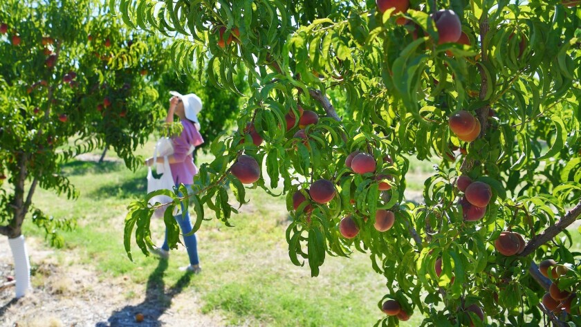 A woman looks for ripe peaches at Gilcrease Orchard Saturday, June 15, 2019, in Las Vegas. (Sam Morr