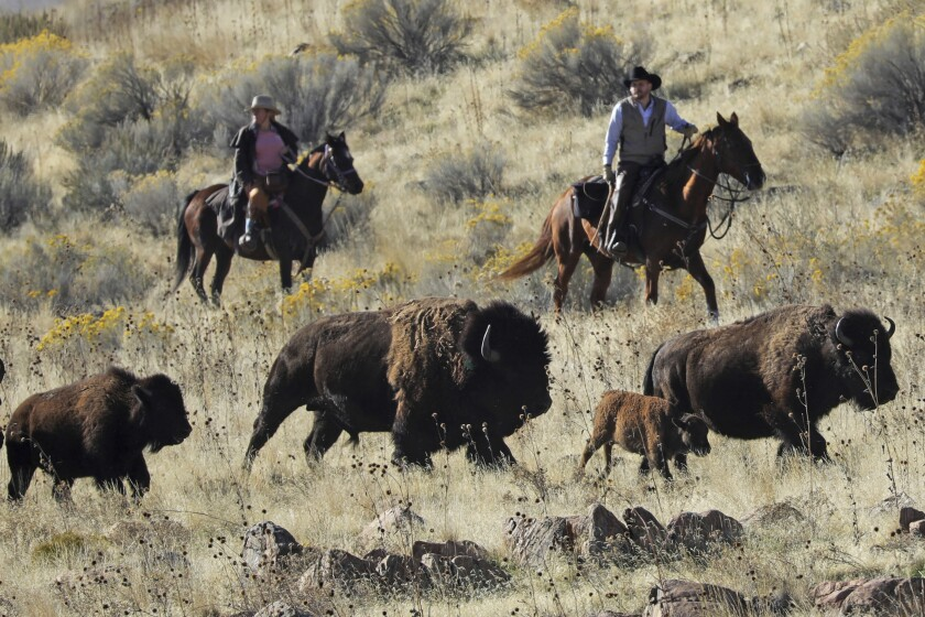 FILE - In this Saturday, Oct. 26, 2019, file photo, Riders herd bison during the annual bison roundup on Antelope Island in Utah. The nonprofit organization that owns a majority of California's Santa Catalina Island plans to boost eco-tourism by adding bison to existing herds, recharging a debate over the environmental impacts of the shaggy beasts, Sunday, Nov. 8, 2020 (AP Photo/Rick Bowmer, File)