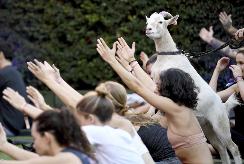 """03 November 2018, US, Los Angeles: Goat """"Pippin"""" climbs on the back of a participant of a yoga course with goats. Goat yoga is becoming increasingly popular in the USA."""