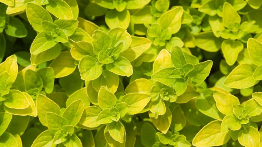Golden Oregano foliage [Origanum vulgare 'Aureum']. Tennant L Fragrance Garden, Ferndale, WA. © Mark Turner ** OUTS - ELSENT, FPG, CM - OUTS * NM, PH, VA if sourced by CT, LA or MoD **
