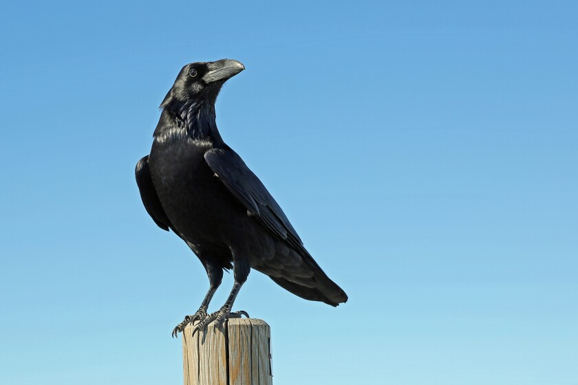 Local resident John C. Weil shares a remarkable and unscientific story of how he was saved by two crows in La Jolla.