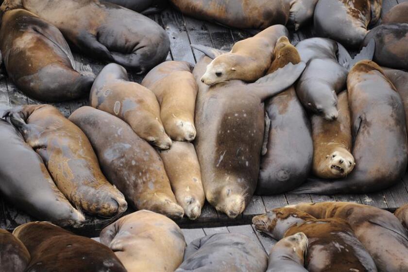 Vista de varios leones marinos que permanecen en el muelle 39 del Puerto de San Francisco, California (EEUU), el viernes 19 de agosto de 2011. EFE/Archivo