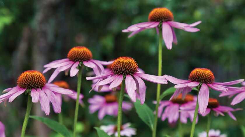 Echinacea comes in a variety of colors and attracts butterflies and birds.