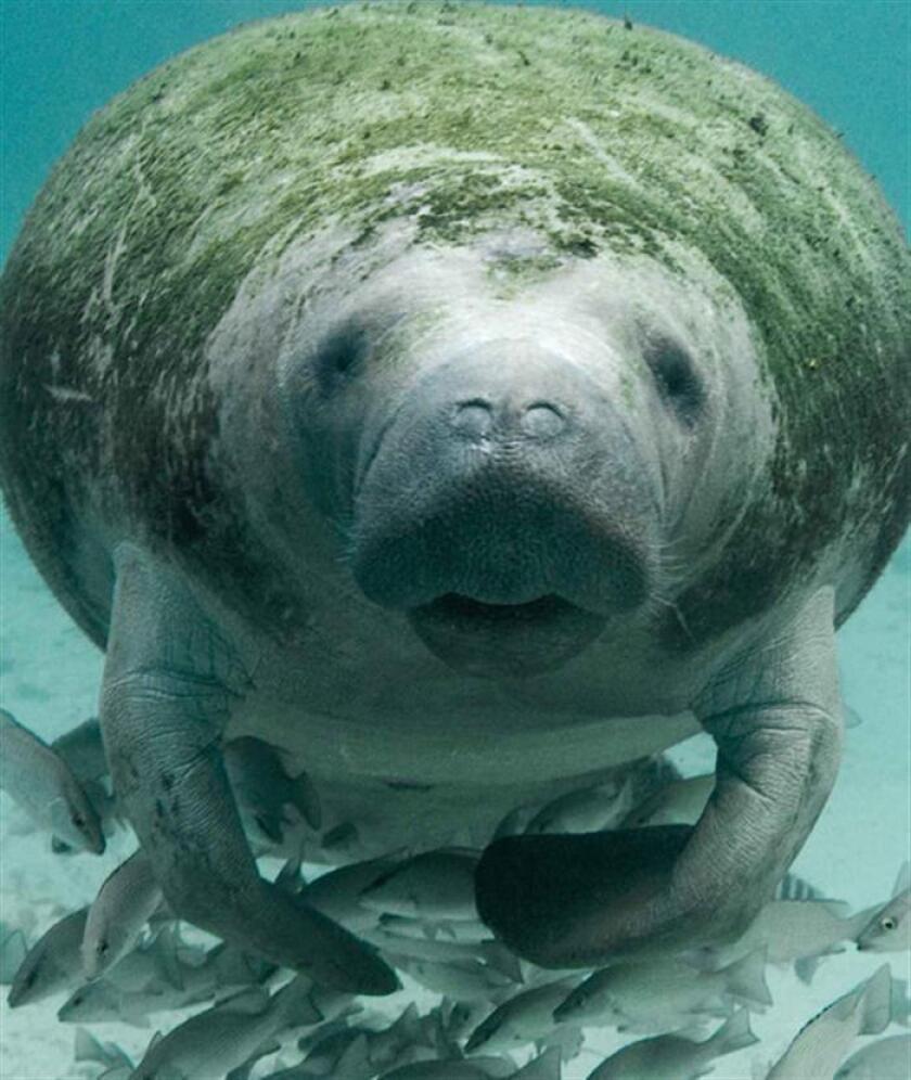 Fotografía cedida hoy, jueves 28 de junio de 2018, por la Procuraduría Federal de Protección al Ambiente (PROFEPA), de un manatí en aguas del estado Tabasco (México). EFE/PROFEPA/SOLO USO EDITORIAL/NO VENTAS