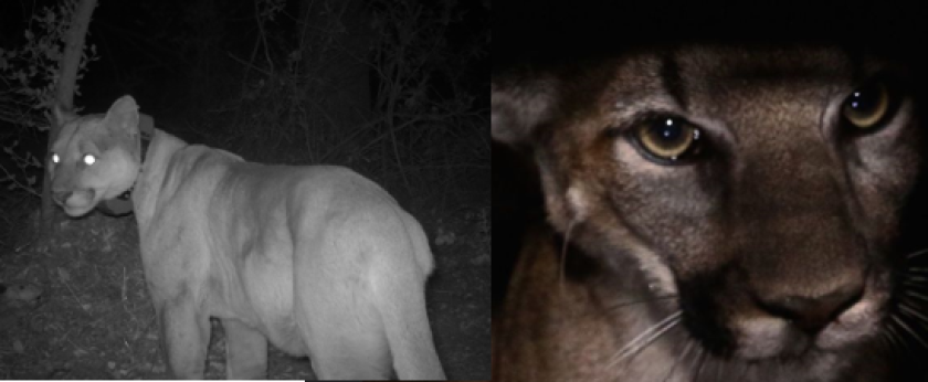 Two mountain lions found dead in Santa Monica Mountains had ingested rat poison
