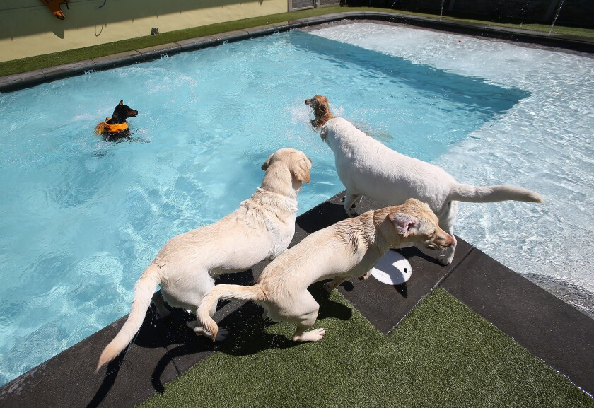 A new wave in Costa Mesa — a swim club just for dogs - Los Angeles Times