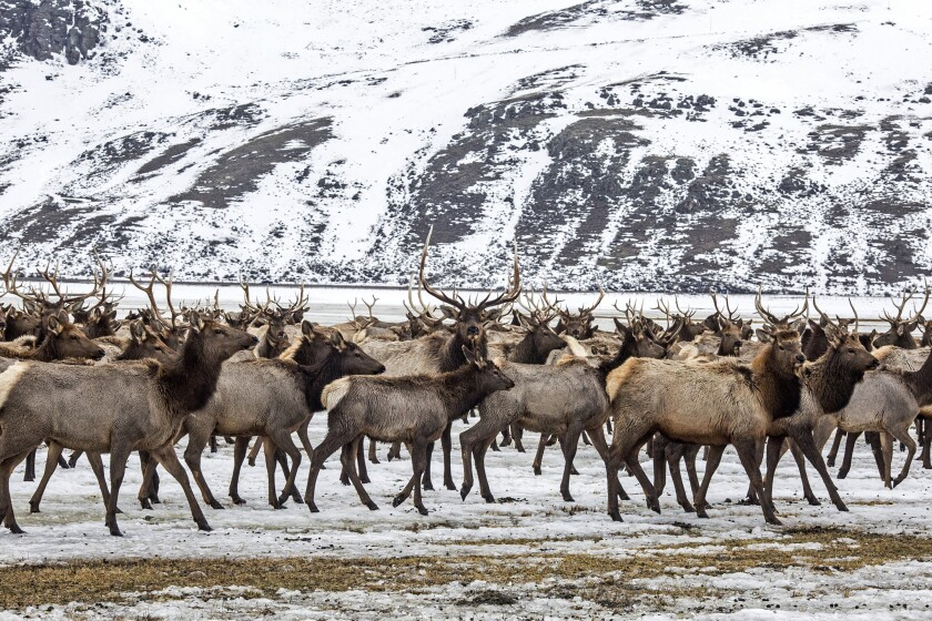 FILE - In this Feb. 21, 2017, file photo, elk make their way to the feed line on the National Elk Refuge north of Jackson, Wyo. Environmental groups have filed a new lawsuit against the feeding of elk on a Wyoming wildlife refuge, saying the U.S. government should act sooner to curtail the practice. Hunters and guides support the feeding as a way to keep elk numbers up but worries about a wildlife disease similar to mad cow disease in humans increasingly call the practice into question. (Ryan Dorgan/Jackson Hole News & Guide via AP, File)
