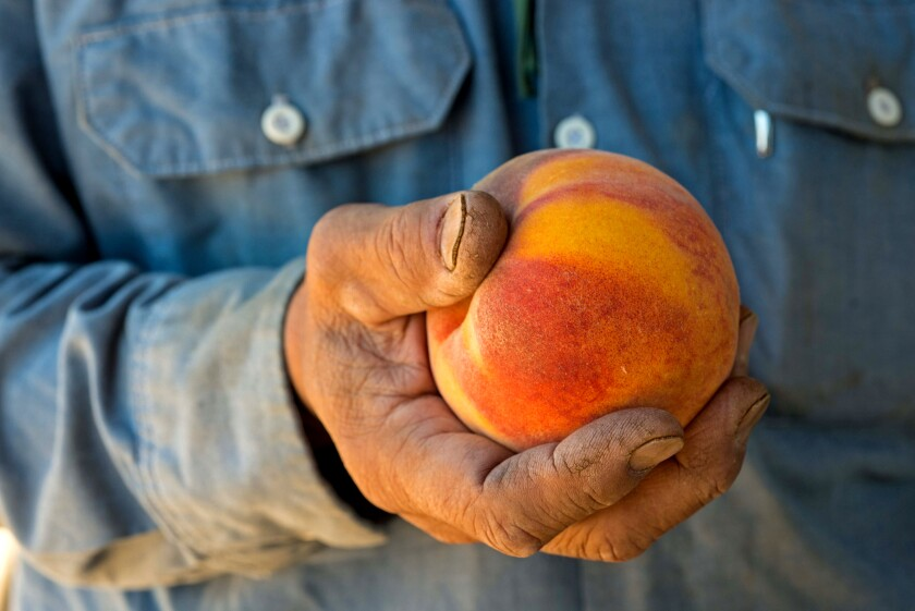 Farmer's dirty hand holding a yellow and red ripe peach
