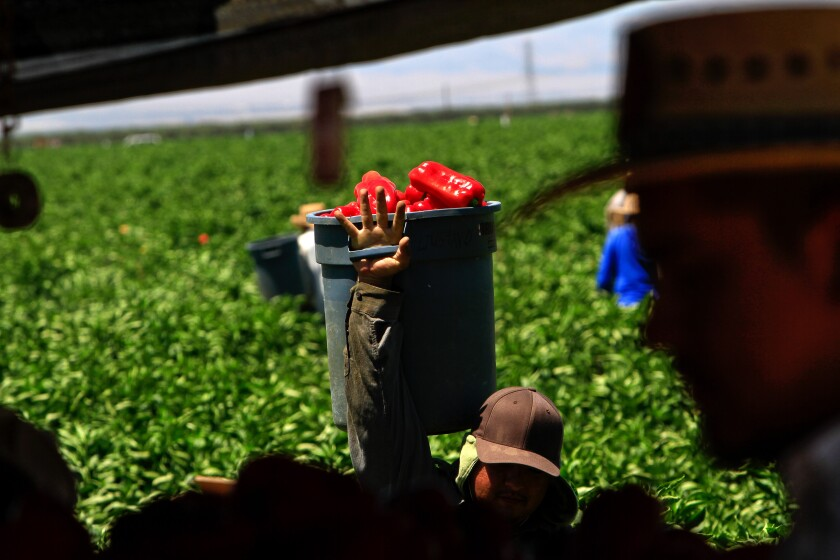 A farmworker brings red bell peppers to the packing tent at a farm in the Bakersfield area in this file photo.