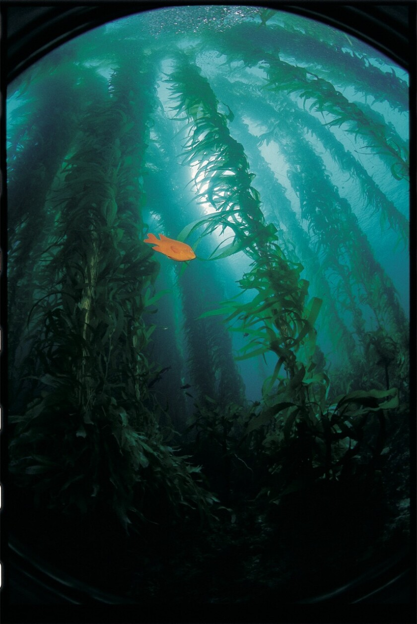 Local giant kelp forests provide habitat and food for many marine species.