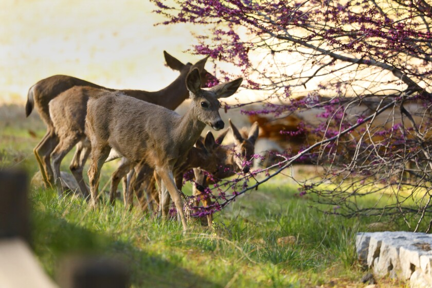 Deer feed on a redbud tree in bloom in the Yosemite Valley.