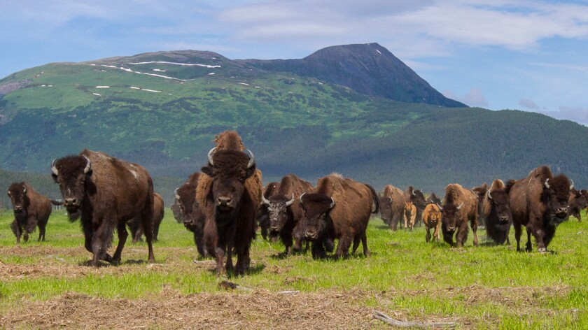 About two-thirds of a herd of nearly 150 wood bison at the Alaska Wildlife Conservation Center are to be reintroduced into the wild starting in March.