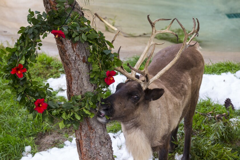 Reindeer are just one of the animals you'll encounter at Northern Frontier's Holiday Forest during the San Diego Zoo's Jungle Bells.