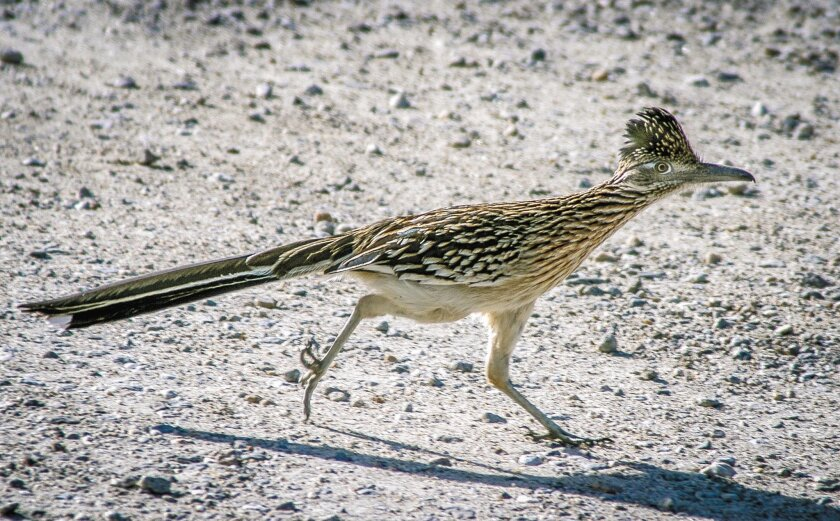 The greater roadrunner is a resident of San Diego County that bird-watchers can expect to encounter from the coastal slopes to the sands of the Anza-Borrego Desert.