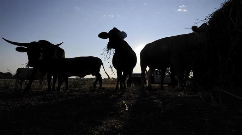 EEUU anunció hoy el reinicio de una disputa comercial con la Unión Europea (UE) originada en 1989 por el veto comunitario a la carne de vacuno con hormonas, tras considerar que el acuerdo al que ambos llegaron hace cuatro años no ha funcionado. EFE/ARCHIVO