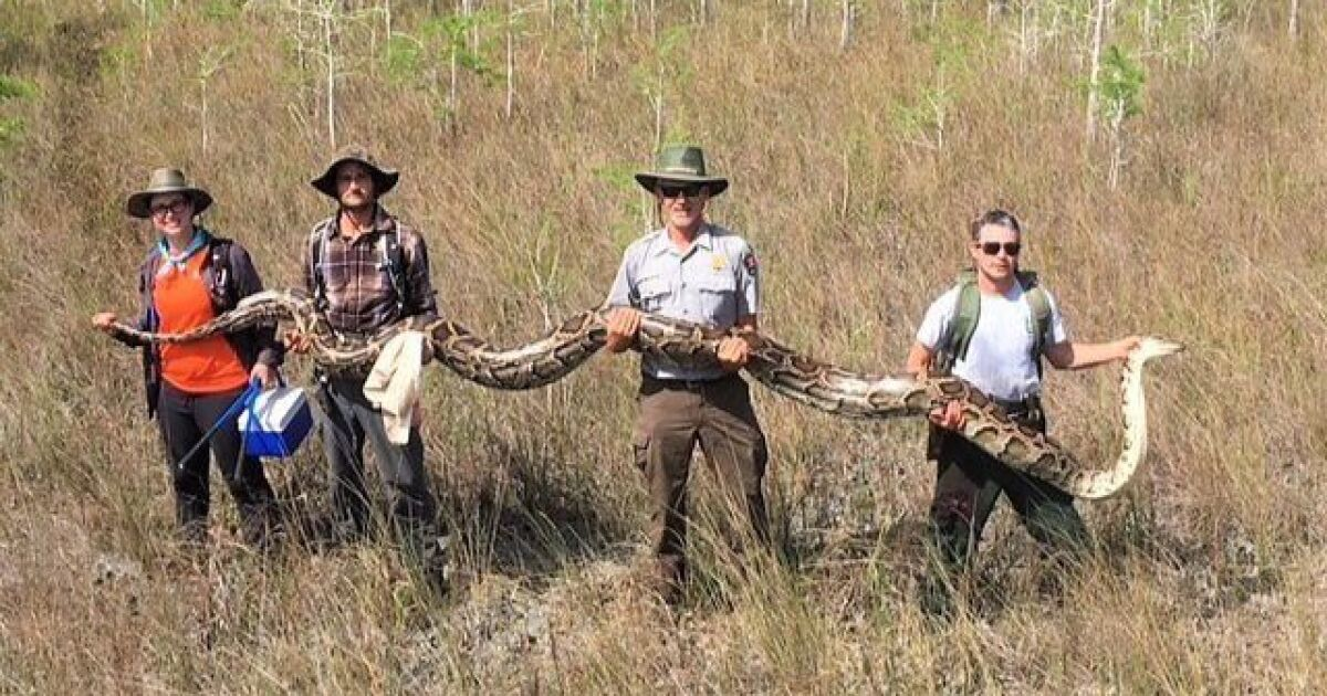 Record 17-foot-long python captured in South Florida