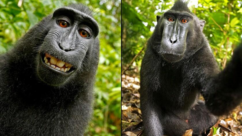Macaque selfies