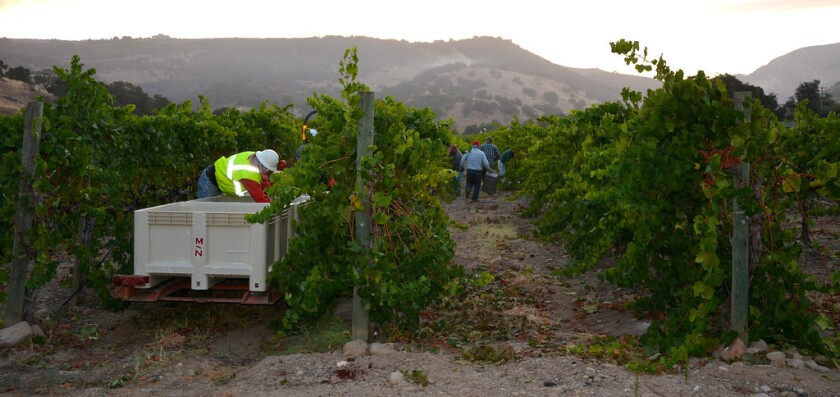 Workers make their way up and down the vineyard, picking Pinot Noir grapes that will become Mumm sparkling wine.