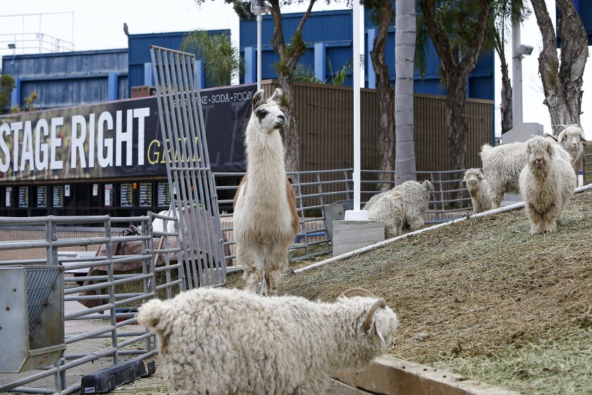 Knitty, a 13-year-old llama, stands guard along the east sound berm to the Pacific Amphitheatre in Costa Mesa last December.