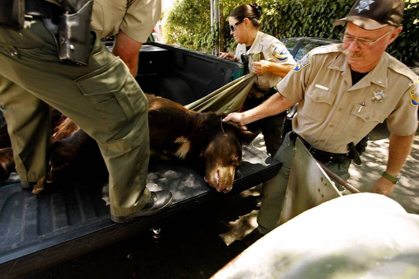Glendale's most popular bear is caught again, sent back to wild