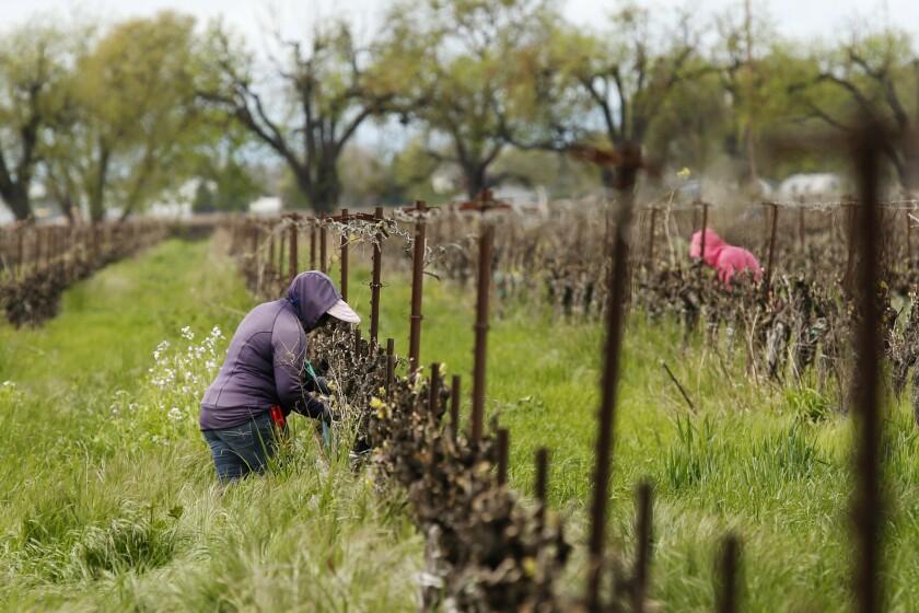 Fotografía del 24 de marzo de trabajadores agrícolas manteniendo una distancia entre ellos mientras trabajan en el Heringer Estates Family Vineyards and Winery en Clarksburg, California. (AP Foto/Rich Pedroncelli)