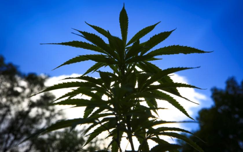 Vista de plantas de marihuana