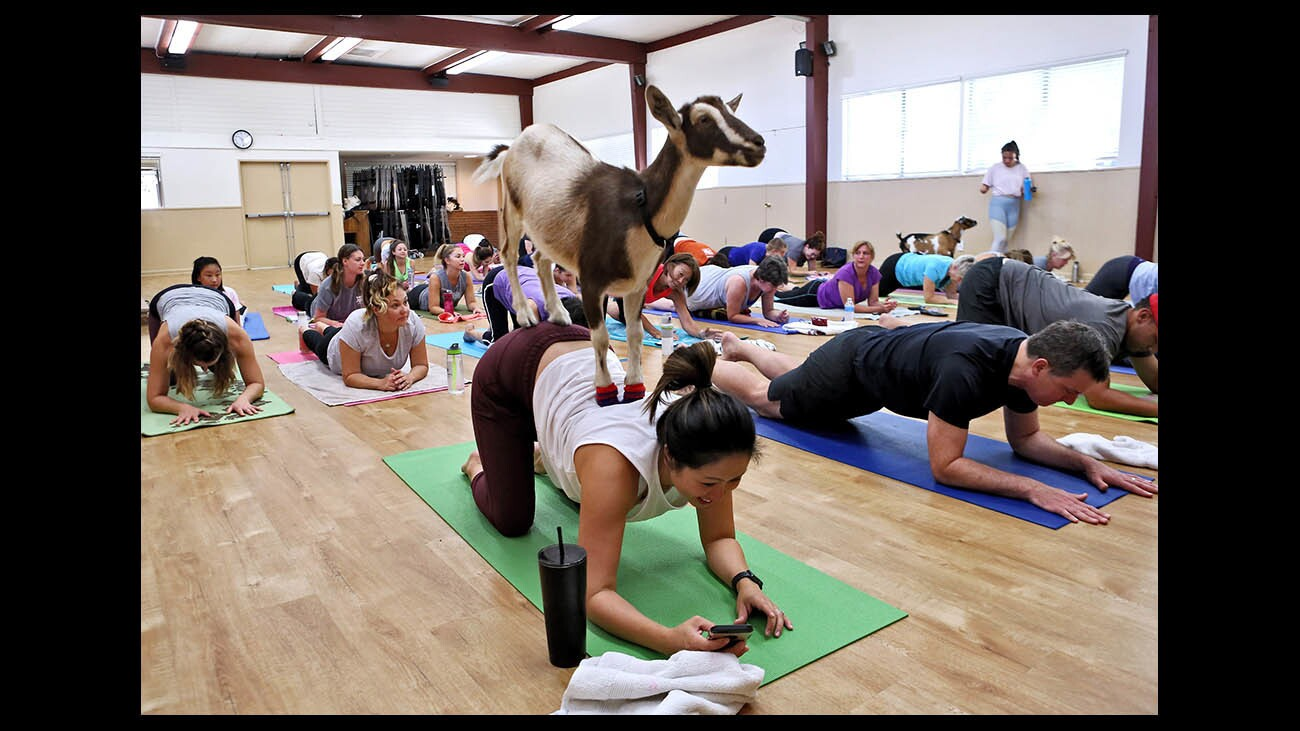 Photo Gallery: Goat yoga at Community Center of La Canada Flintridge