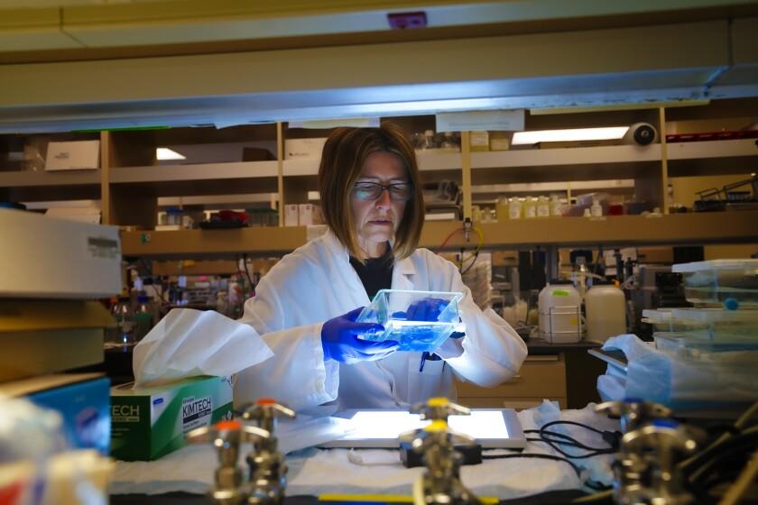 Un investigador inspecciona muestras de laboratorio.