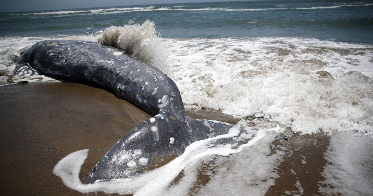 Γκρίζα φάλαινα μετανάστευση φτάνει στο αποκορύφωμά της, οι επιστήμονες φοβούνται μια άλλη ανεξήγητη die-off