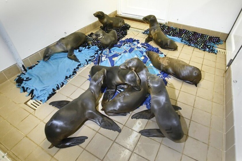 Nine malnourished and dehydrated California sea lion pups rest in the nursery of the Pacific Marine Mammal Center in Laguna Beach. This season has seen an increase in the number of emaciated pups brought to marine mammal sanctuaries along the Southern California coast.