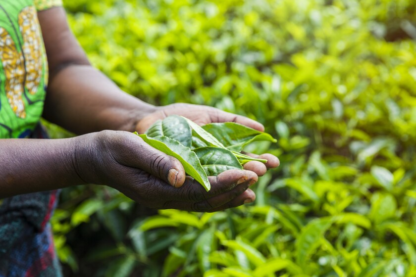 Close up on woman's hands holding tea leaves