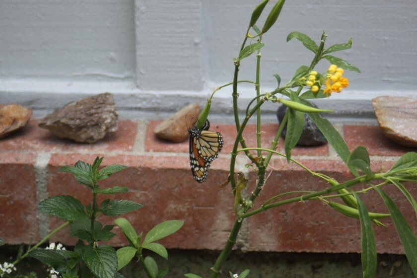 A monarch butterfly in Mary Ellen Morgan's garden