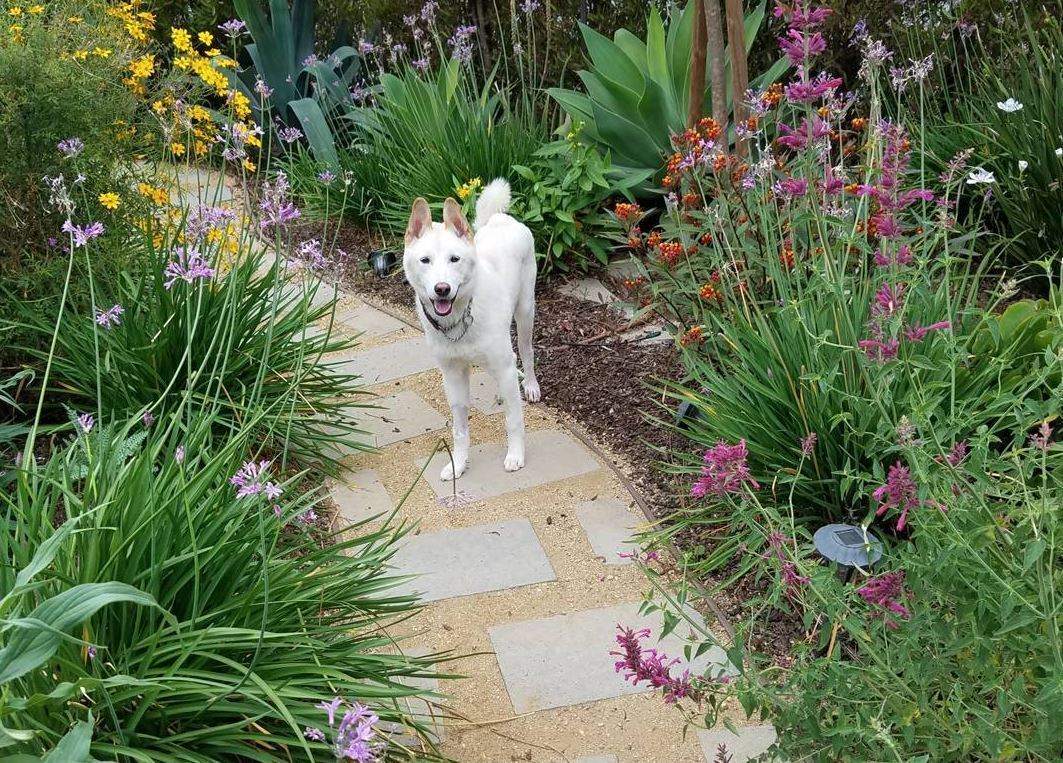 The Mar Vista Green Garden Showcase returns on Saturday, April 28, from 10 a.m. to 4 p.m. Pictured: Tour mascot Beau Finnegan, in his front garden.