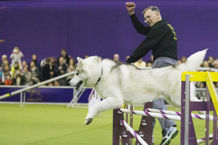 Sunny, a Siberian Huskie and his handler Alan Davis, of Pen Argyl, Pa., compete in the agility portion of the 140th Westminster Kennel Club Dog Show, Saturday, Feb. 13, 2016, in New York. (AP Photo/Mary Altaffer)