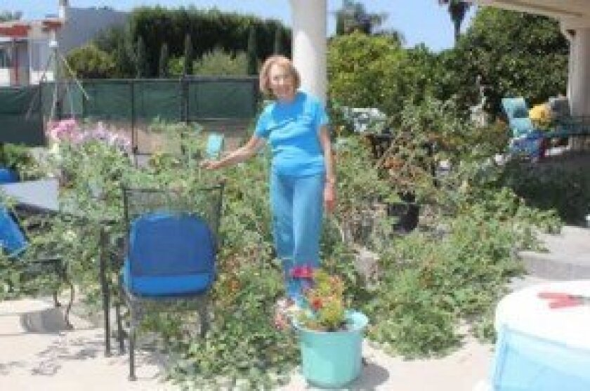 Lillian Stein of La Jolla Shores stands in the middle of a tomato plant that has inexplicably grown gigantic and overtaken her garden.