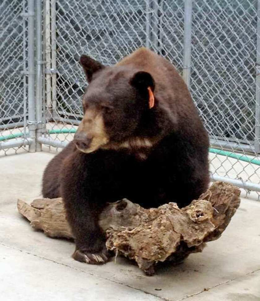 Wildlife sanctuary to see how 'Meatball' does with new neighbor, 'Sugar Bear'